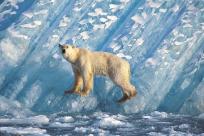 Isbjörn, Liefdefjorden, Svalbard Norge