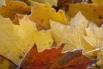 Rimfrostiga löv II