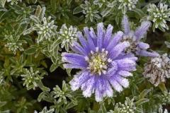 D41559-08 Rimfrostiga blommor