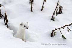 Småvessla/Least weasel