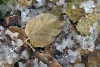 Frostig löv på marken