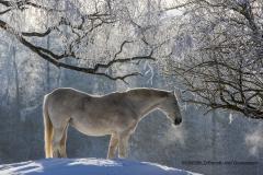 Häst i vintrig miljlö, Regna, Östergötland